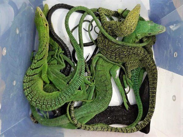 மரப் பல்லிகள்,மலைப்பாம்புகள் கடத்தல்,Rare species lizards and pythons seized in chennai