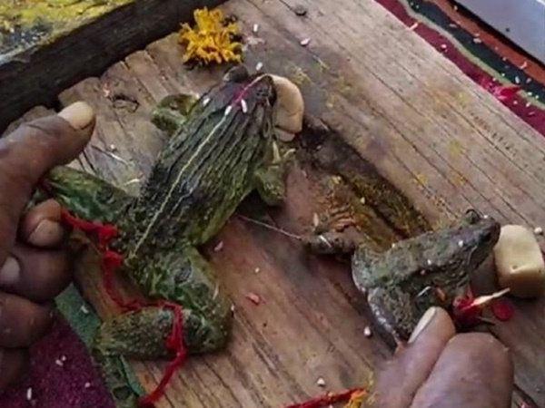 Frogs divorced following heavy rains in Bhopal, மழை நிற்க வேண்டி தவளைகளுக்கு விவாகரத்து